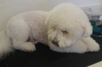 Bichon groomed by a student