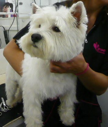 A correctly groomed westie (pet trim)